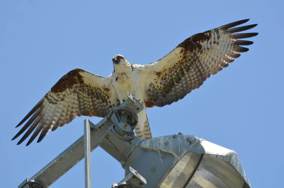 The osprey watching over the campus.
