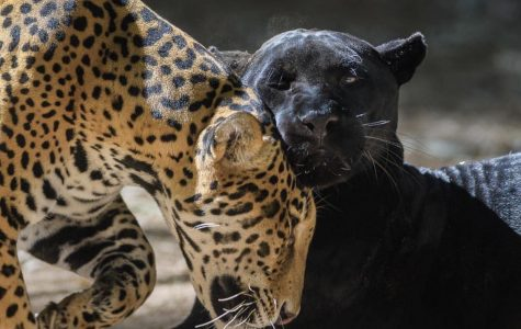 Woman Attacked Trying to Selfie With a Jaguar