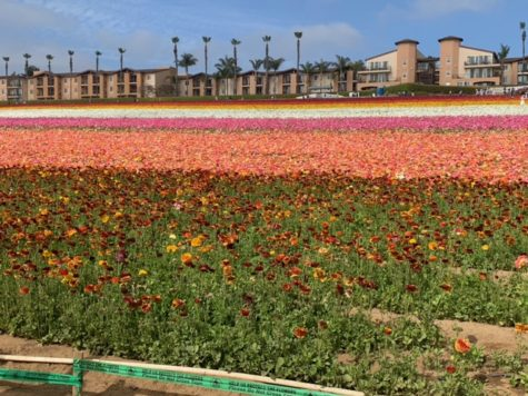 View of the tecolote ranunculus flowers at the Carlsbad Flower Fields