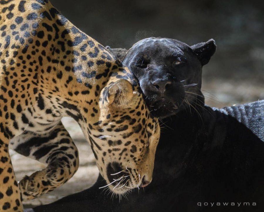 Photo from Wildlife World Zoo Instagram, taken by John Qoyawayma