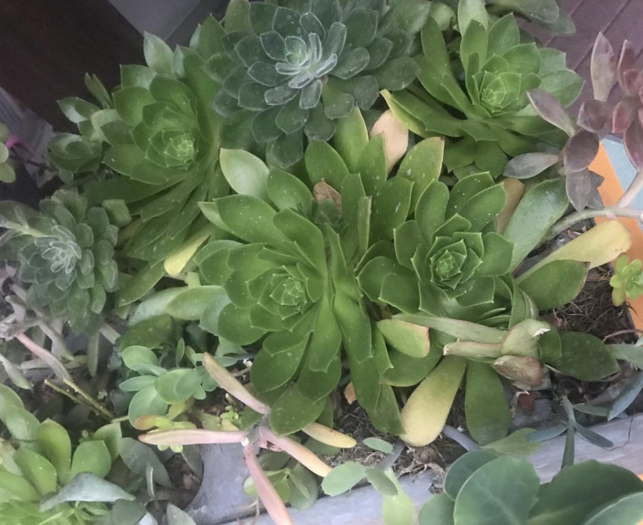 Starting a succulent garden is one of the many way people can stay home and have fun during the stay-at-home order.