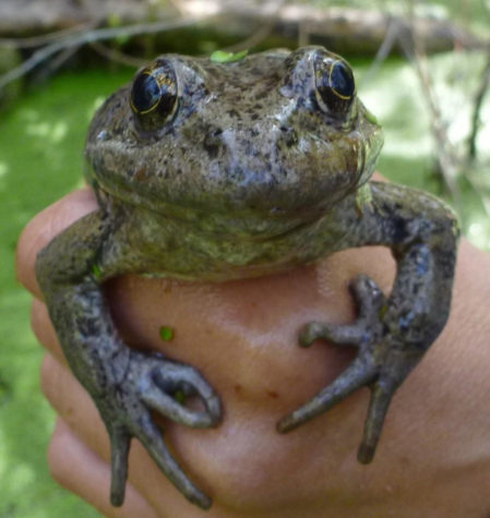 A California red-legged frog. (U.S. National Park Service/TNS)